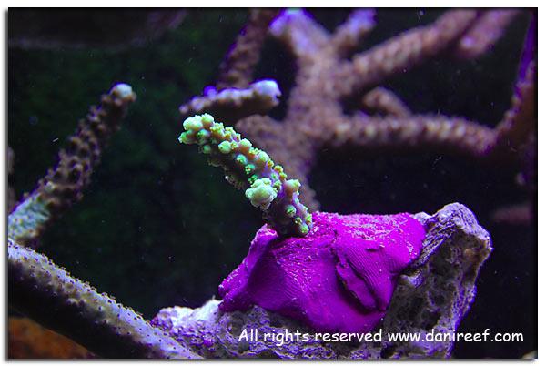 Acropora horrida viola