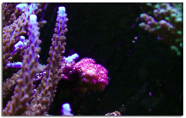 Pocillopora rosa