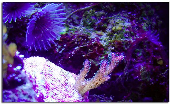 Pocillopora tricolor