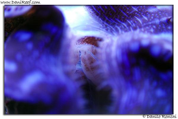Tridacna Maxima