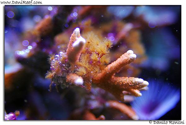Myrionema amboeniensis