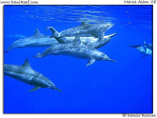 Delfini a Marsa Alam - Dolphins at Red Sea