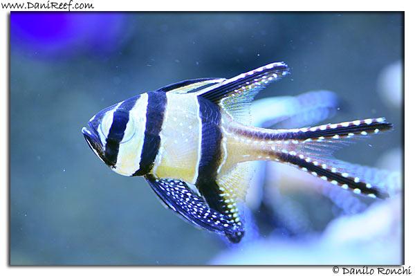 Pterapogon kauderni
