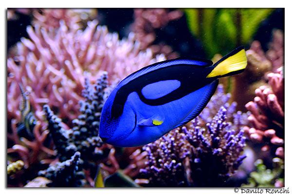 I pesci chirurgo the surgeonfishes danireef portale for Pesci e acquario