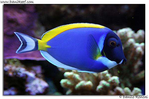 I pesci chirurgo the surgeonfishes danireef portale for Pesci per acquario