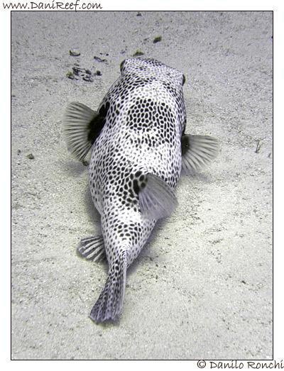Abu Dabbab - Pesce palla - arothron diadematus