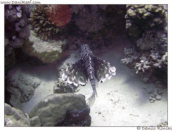 Abu Dabbab - Pesce leone - Pterois volitans
