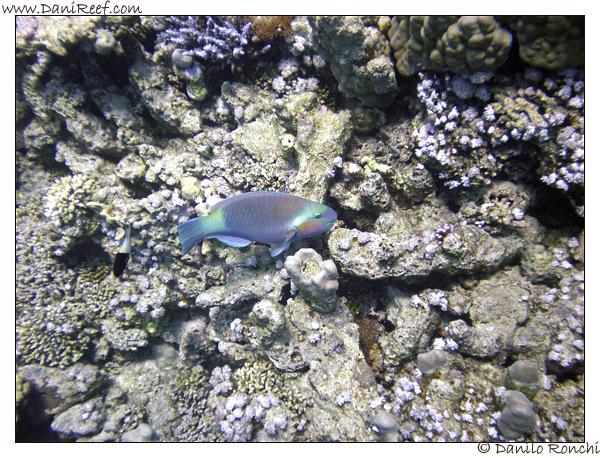 Abu Dabbab - Pesce pappagallo, Scarus ferrugineus