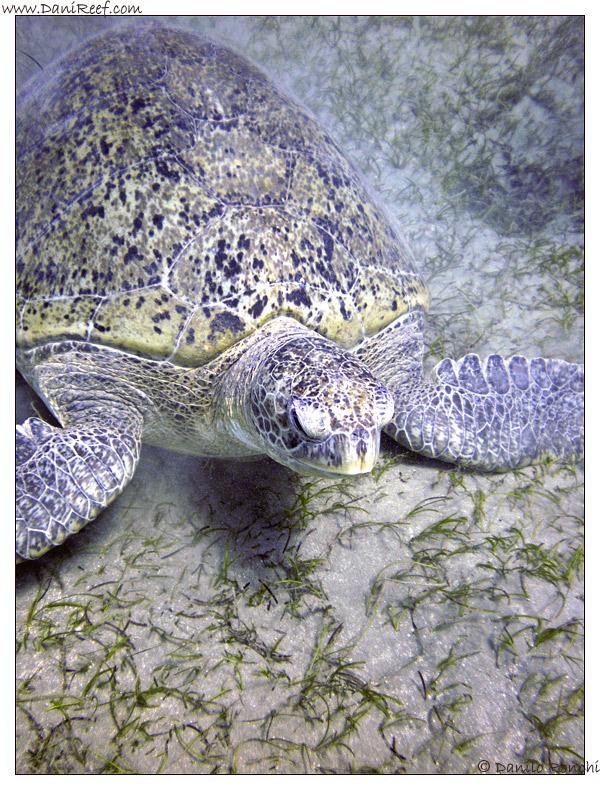 Abu Dabbab - tartaruga verde gigante - Chelonia mydas