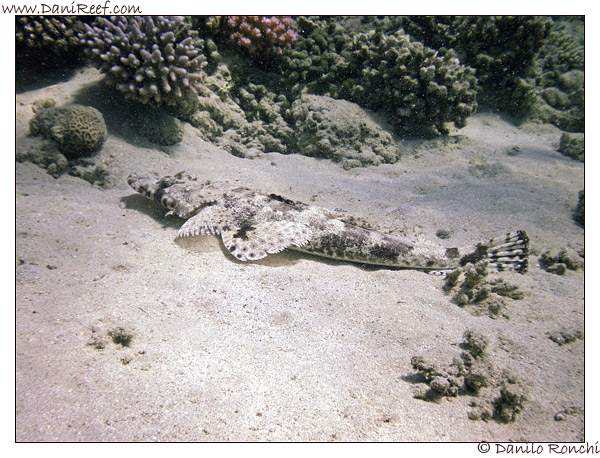 Abu Dabbab - Pesce coccodrillo - Papilloculiceps longiceps