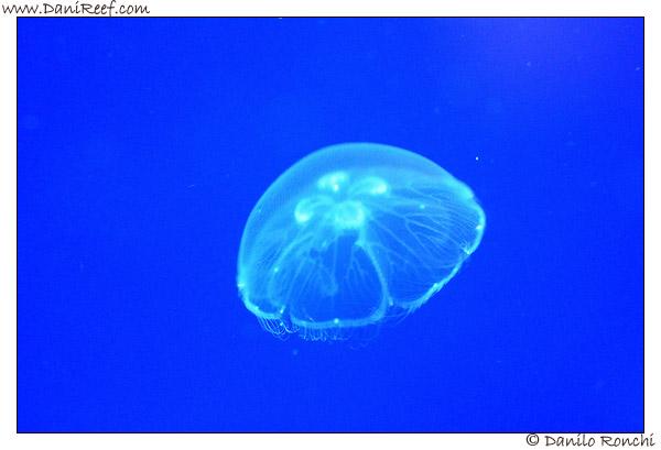 Medusa quadrifoglio - Aurelia Aurita