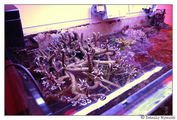 Coralli duri parzialmente fuori dall'acqua nell'occasione di un cambio vasca