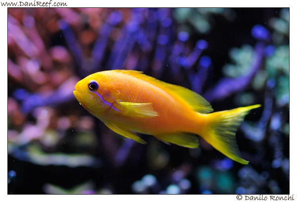 Pseudanthias squamipinnis in acquario marino
