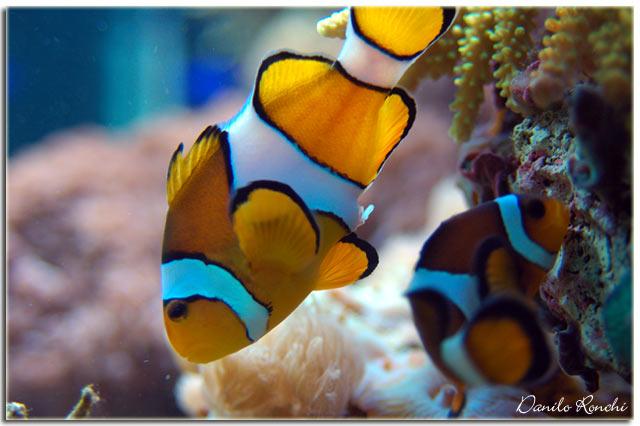 Foto della deposizione dei miei pesci pagliaccio pics for Immagini pesciolini