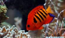 Centropyge in acquario marino: quali e quanti inserirne?