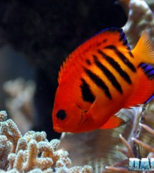 Centropyge in marine aquariums: which ones and how many?