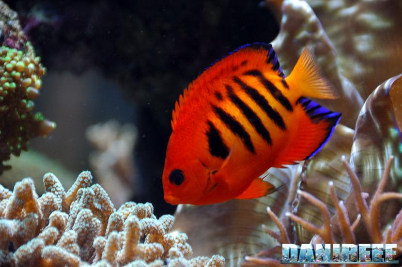 Centropyge in acquario marino: quali e quanti inserirne? - Centropyge loriculus