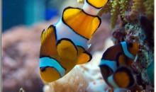 Foto della deposizione dei miei pesci pagliaccio – pics about clown fishes spawning