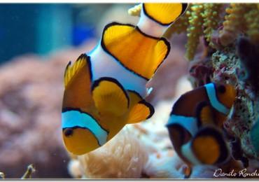 deposizione_uova_pesce_pagliaccio_ampiphrion_ocellaris_acquario