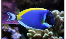I Pesci Chirurgo – The Surgeonfishes