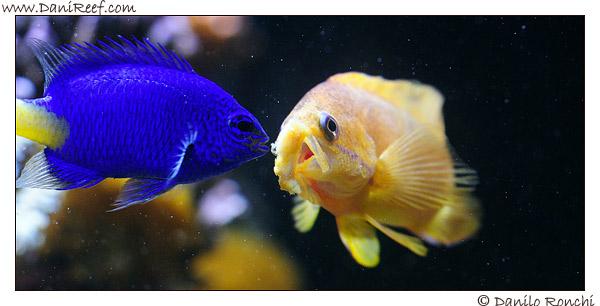 Pseudanthias squamipinnis e Chrisiptera parasema si contendono il cibo in acquario