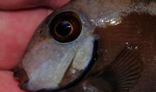 Il Carbone Attivo potrebbe essere una delle cause dell'erosione della linea laterale dei pesci marini