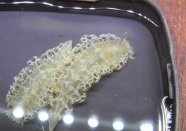 tritoniopsis elegans