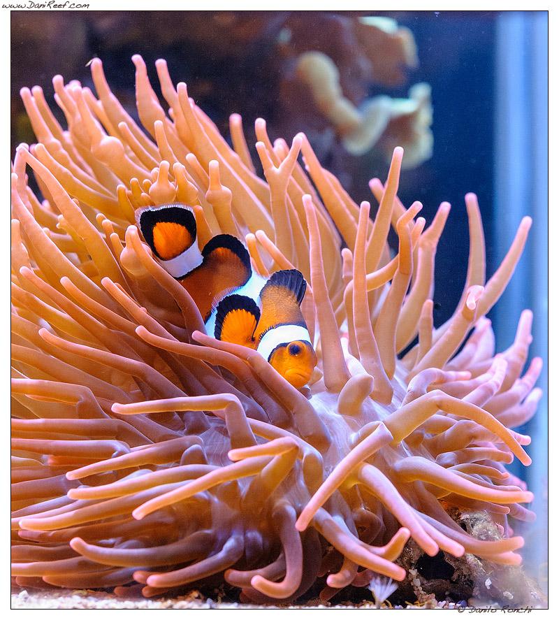Pesce pagliaccio Amphiprion ocellaris in Entacmaea quadricolor