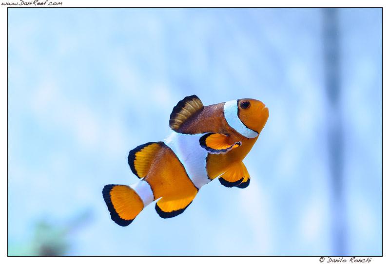 Pesci pagliaccio Amphiprion ocellaris o percula? La guida per riconoscerli