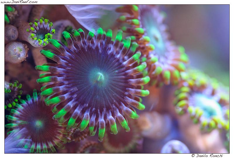 Palitossina, Palythoa e Zoanthus – Tossicità da coralli negli acquari marini domestici: mito o realtà?