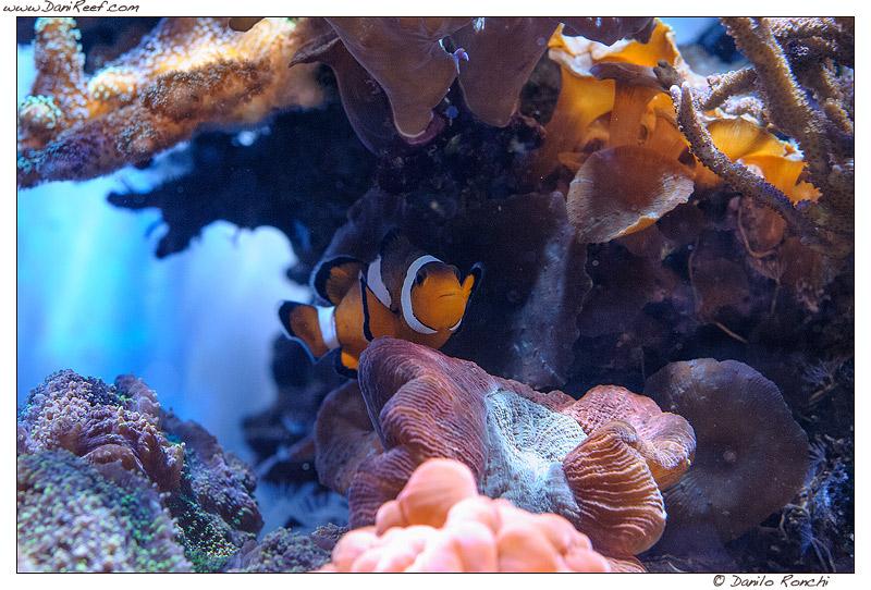Pesci pagliaccio in acquario (Amphiprion ocellaris) - la nostra guida