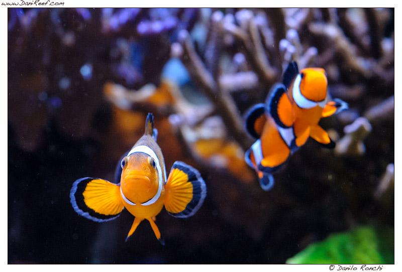 Pesci pagliaccio in acquario (Amphiprion ocellaris) – la nostra guida