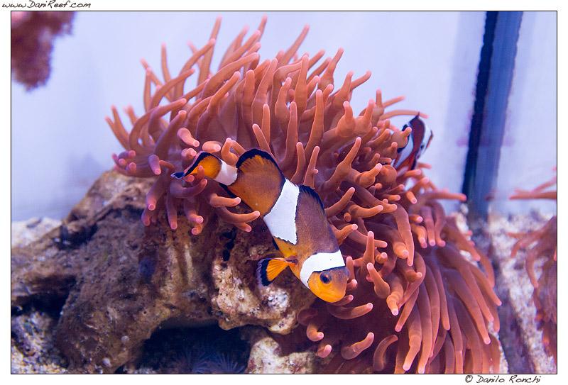Pesci pagliaccio Amphiprion ocellaris ed anemone Entacmaea quadricolor