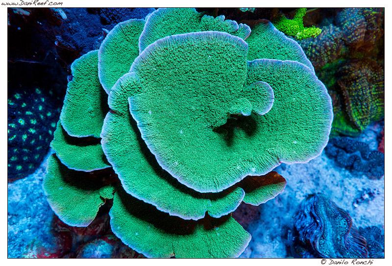 Montipora, il corallo duro SPS che potete allevare in qualsiasi acquario
