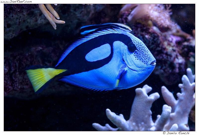 Pesci per acquario marino tropicale casamia idea di immagine for Pesci tropicali acquario