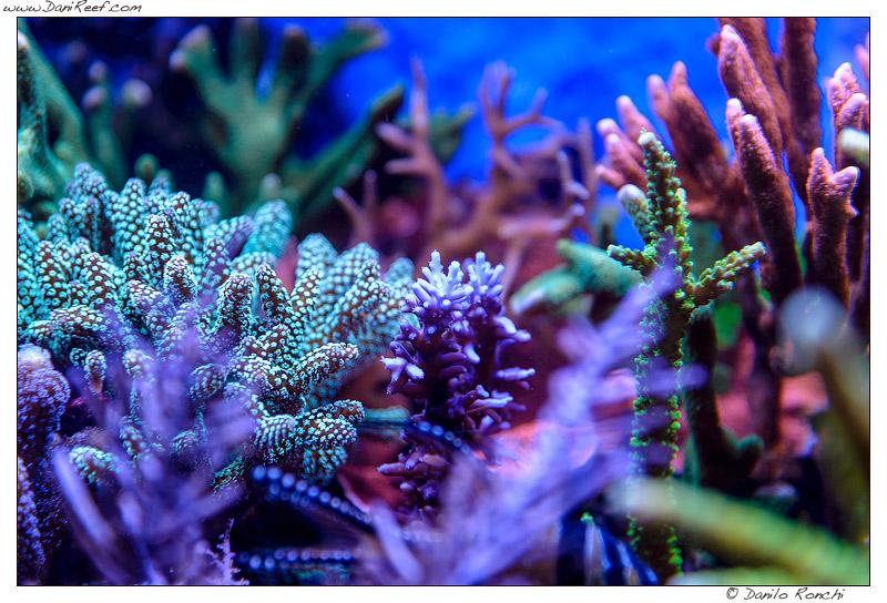 Coralli SPS in acquario