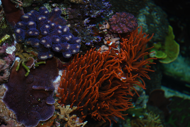 Entacmea Amphiprion pesci pagliaccio acquario di barriera corallina del Museo di Scienze Naturali dell'Alto Adige a Bolzano
