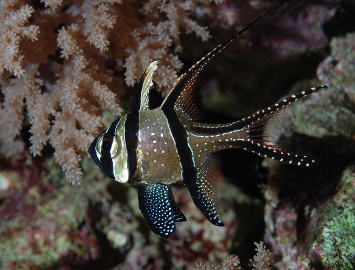 Pterapogon kauderni acquario di barriera corallina del Museo di Scienze Naturali dell'Alto Adige a Bolzano