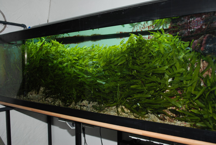 acquario di barriera corallina del Museo di Scienze Naturali dell'Alto Adige a Bolzano caulerpa