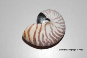 Conchiglia nautilus copy