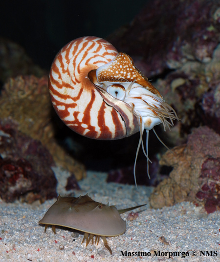 Nautilus + Limulus copy