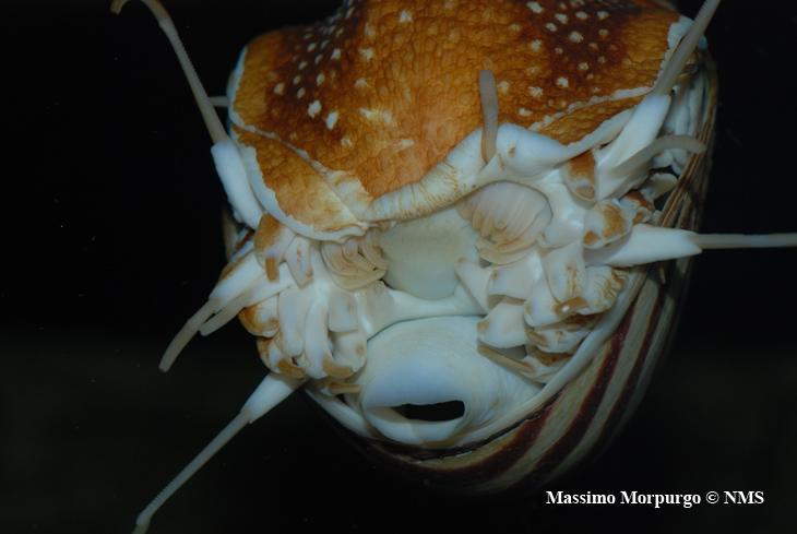 Nautilus bocca e imbuto