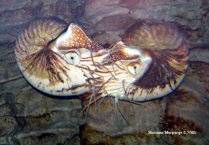 Nautilus in accoppiamento copy