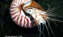 Salvare i Nautilus pompilius dall'estinzione grazie a due ragazzini di 11 anni!