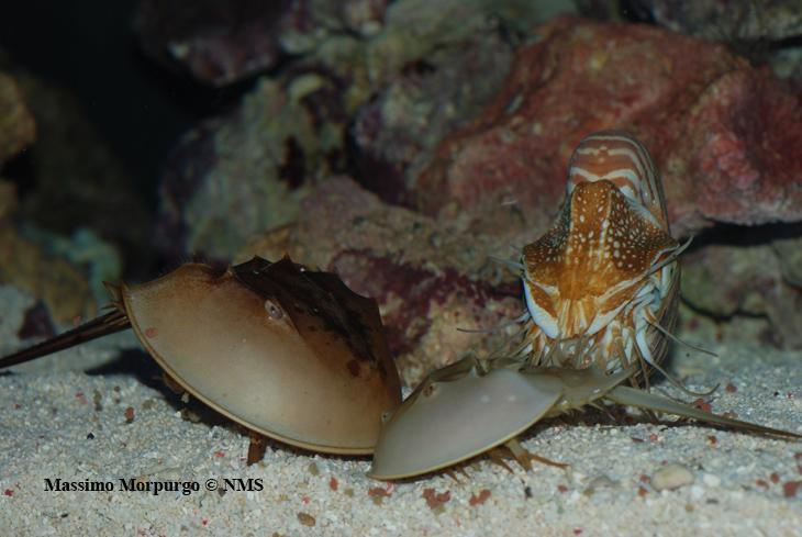 Nautilus ruba cibo copy