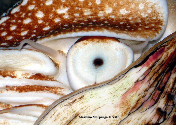 Occhio nautilus