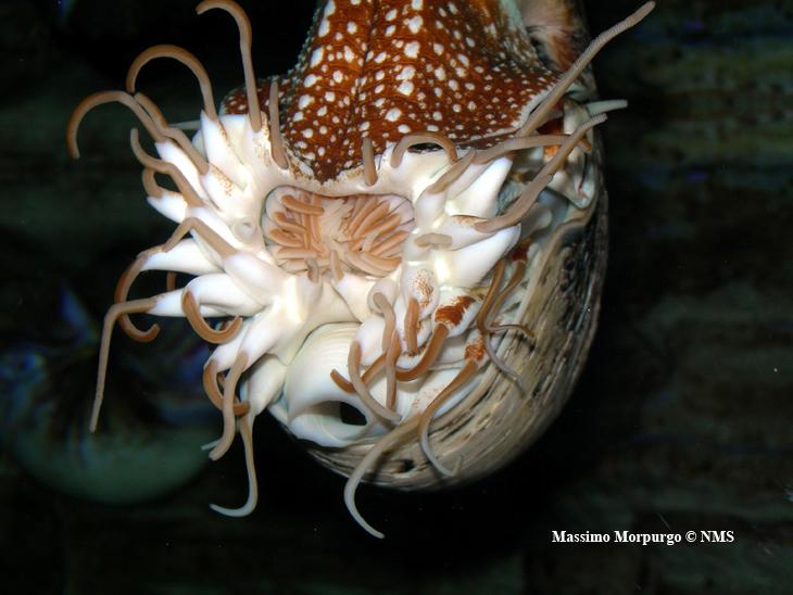 Tentacoli Nautilus