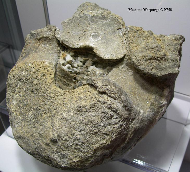 fossile nautiloide copy