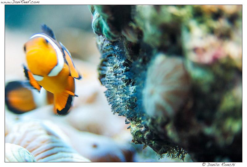 uova di Ampiphrion Ocellaris - pesce pagliaccio