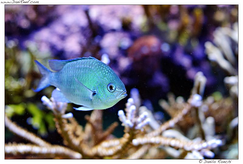 Chromis viridis in acquario marino
